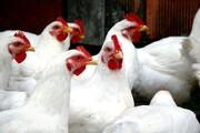 مرغ هم از سفره مردم خداحافظی کرد