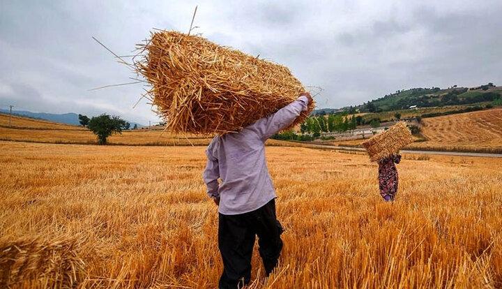 یارانه گندم بنام گندمکاران به کام دلالان